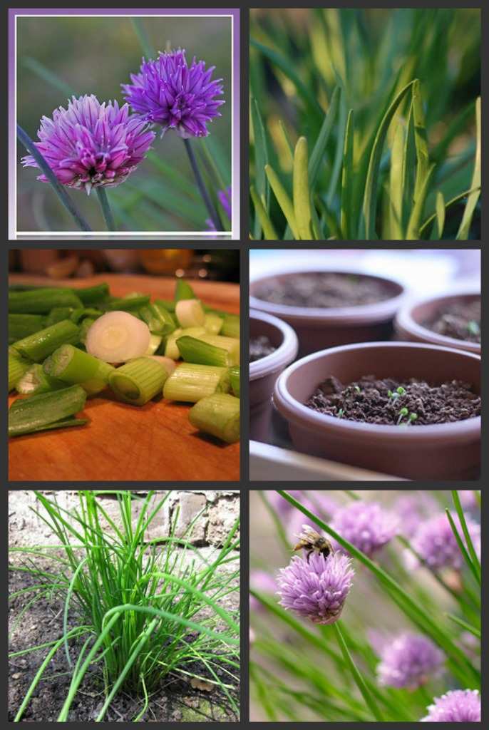 Chives Collage
