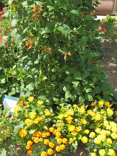 Marigolds and beans