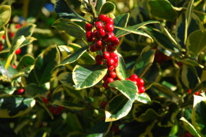 Holly berries and leaves are mildly toxic. Photo by Alan Fryer