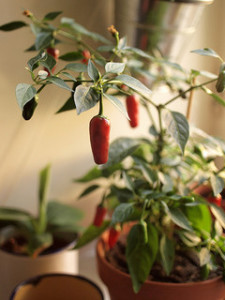 Peppers growing in sunny window garden - photo by mannewaar