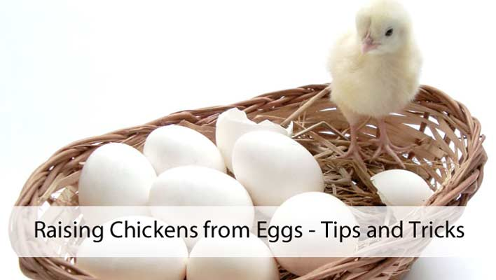 Raising Chickens from Eggs – Tips and Tricks