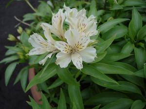 The Alstroemeria flowers are delicate and long-lasting. Photo by Tepeyac
