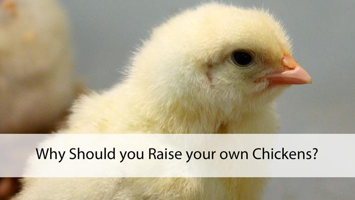 Why Should You Raise Your Own Chickens?