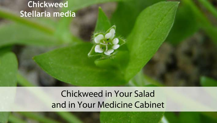 Chickweed in Your Salad and in Your Medicine Cabinet