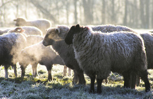 Sheep hanging out in the frosty morning. Flickr photo courtesy of Peewubblewoo