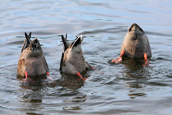 Ducks Bobbing for Food - Image Credit Jeff Jones