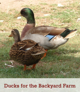 Ducks for the Bakyard Farm - Best Breeds for the small homestead .