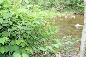 Japanese knotweed is very invasive - keep it out of your compost! Photo: US Fish and Wildlife Service / CC by 2.0