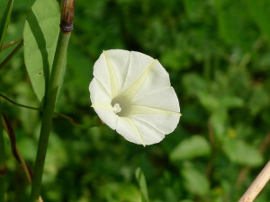 Morning glories are pretty but will spread. Photo: John Tann / CC by 2.0