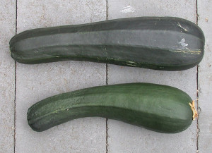 Two beautiful zucchinis ready to eat. Flickr image courtesy of graibeard