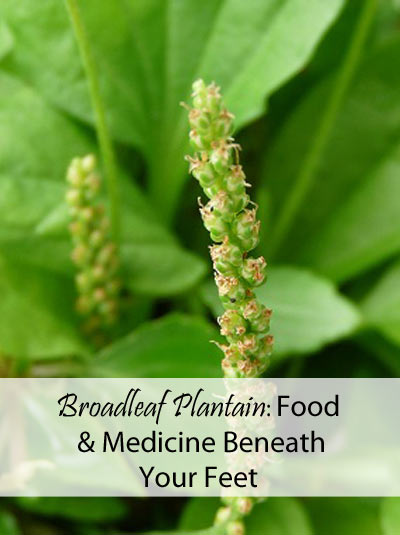 Broadleaf Plantain: Food and Medicine Beneath Your Feet