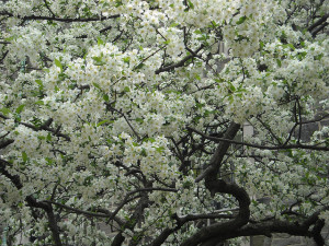An apple tree can produce many yields: blossoms, fruit, shade, and shelter. Photo: Sandra Lee Schubert / CC by 2.0
