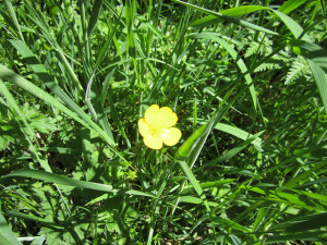 The wily buttercup is easiest to remove in the spring. Photo: johncooke / CC by 2.0