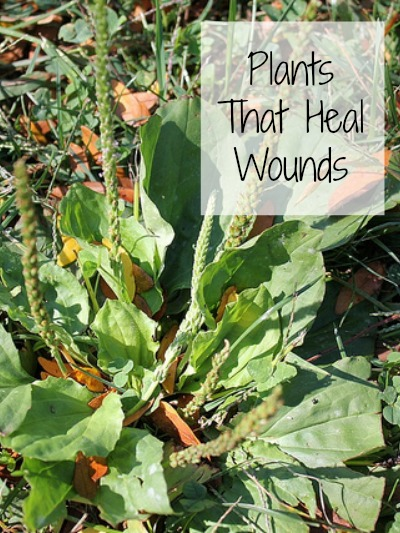 Plants That Heal Wounds