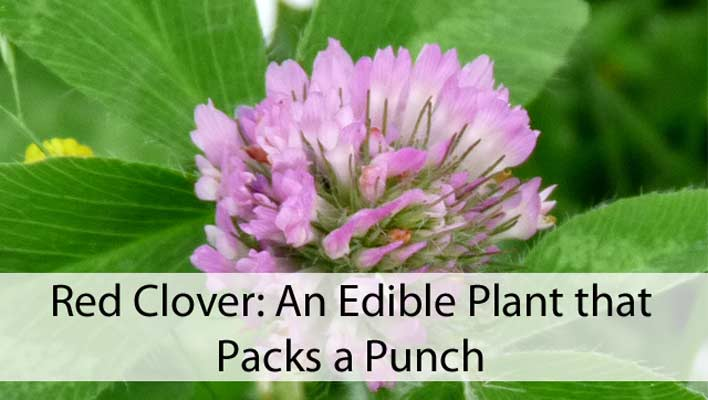Red Clover: An Edible Plant that Packs a Punch