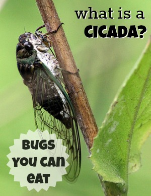 What is a Cicada - Bugs You Can Eat