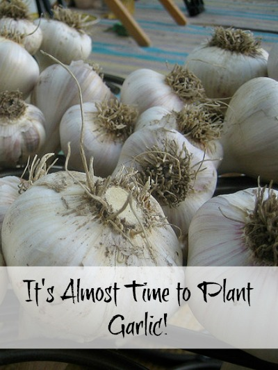 It's Almost Time to Plant Garlic!