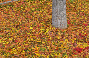 Choose your leaf-collection areas carefully. Photo: Edmund Garman