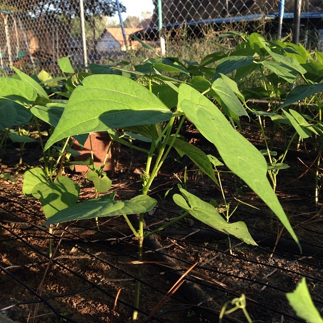 Green Bean Plants at Sunset