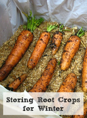 Storing Root Crops for Winter