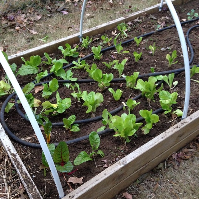 Brite Lights Swiss Chard, Black Seeded Simpson and Romaine Lettuce.