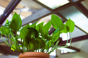 Pretty pothos grows even in low light conditions. Photo: KLPA / CC by 2.0