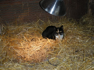 Sybil keeping warm in the chicken coop. Image by Aprille Ross
