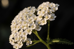 Herbs like yarrow, plantain, and dock help heal wounds. Photo: gorand1983 / CC by 2.0