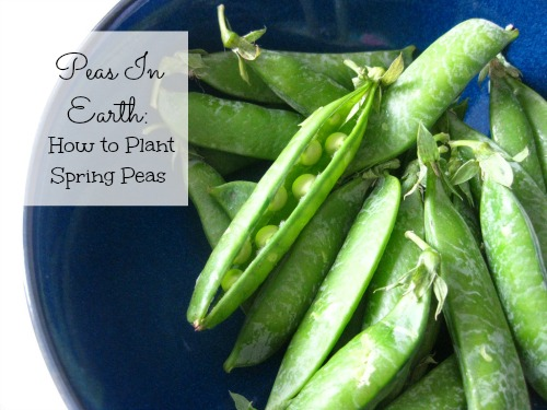 Shelling peas should be harvested when they look waxy, not dull. Photo: Blueberry Files / CC by 2.0