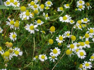 Chamomile: Both useful and pretty. Photo by Mussklprozz