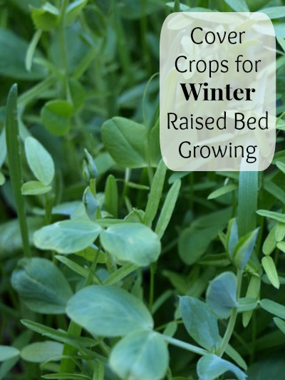 Cover Crops for Winter Raised Bed Growing Mom Prepares