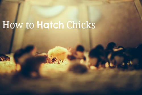 Hatching chickens is a wonderful family homesteading project. Photo: basheertome / CC by 2.0