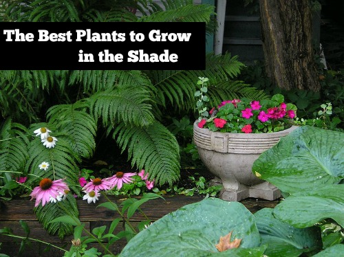 the best plants to grow in the shade  mom prepares, Natural flower