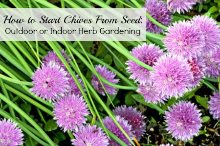 Chives can be continually harvested - Image by chefranden