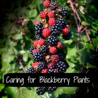 Blackberries ripening on the bush. Flickr image by Colin