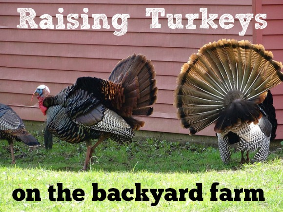 Raising Turkeys on the Backyard Farm