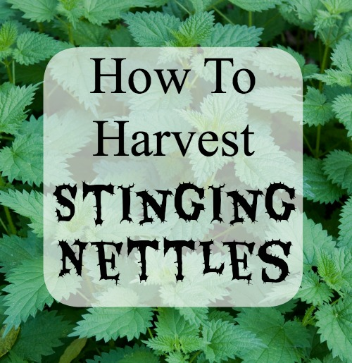harvest stinging nettles