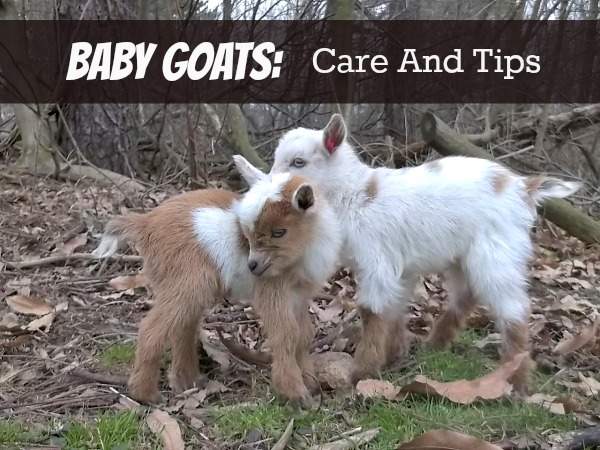 Baby Goats: Care and Tips