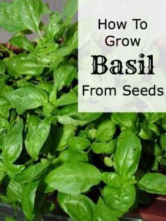 How to Grow Basil from Seed - Mom Prepares