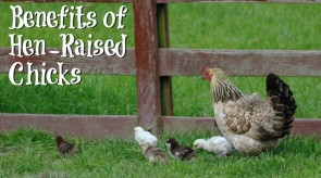 Benefits of Hen-Raised Chicks - Photo by flickr user possumgirlpics
