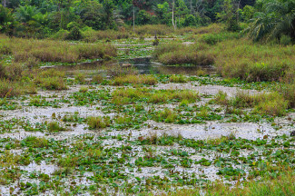 Swampy areas with stagnant water are havens for mosquitoes. Photo by © CEphoto, Uwe Aranas