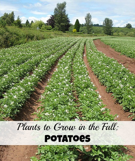 Fill up your fall garden with potatoes. Photo by Pauline Eccles