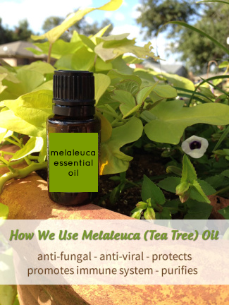 Melaleuca or Tea Tree Oil Uses and Benefits