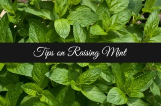 Tips on Raising Mint