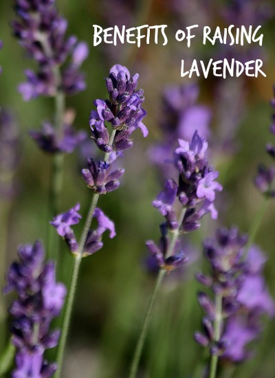 Benefits of Raising Lavender