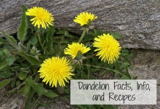 Dandelion Facts Info and Recipes