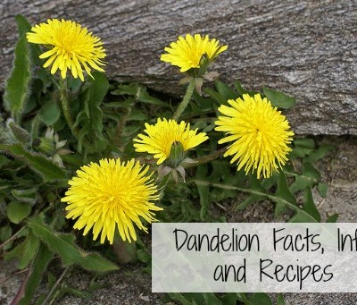 Herbs or Weeds? Dandelion Facts, Info, and Recipes