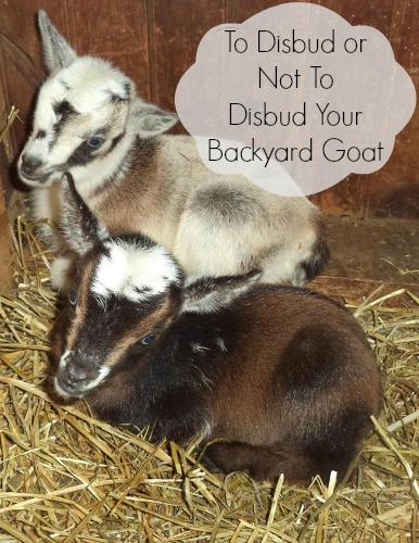 To Disbud or Not To Disbud Your Backyard Goat