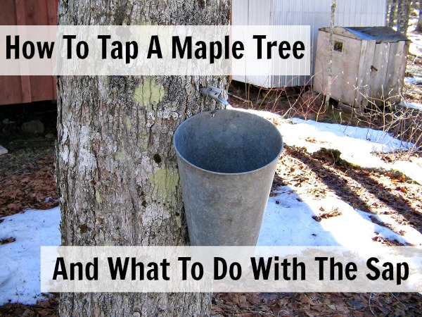 how to tap maple tree
