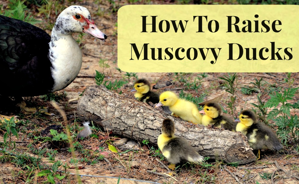 How To Raise Muscovy Ducks | Podcast 41